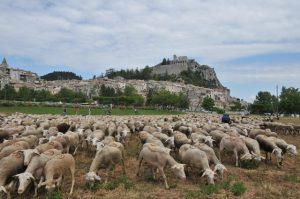 7- AGNEAUX légende (Un label AOC pour l'agneau de Sisteron)